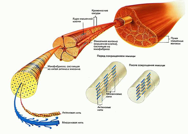 биомеханическая стимуляция v-actor